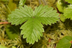 Leaves-of-Wild-strawberry
