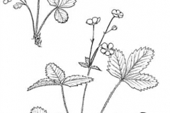 Sketch-of-Wild-strawberry