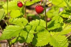 Wild-strawberry-Plant