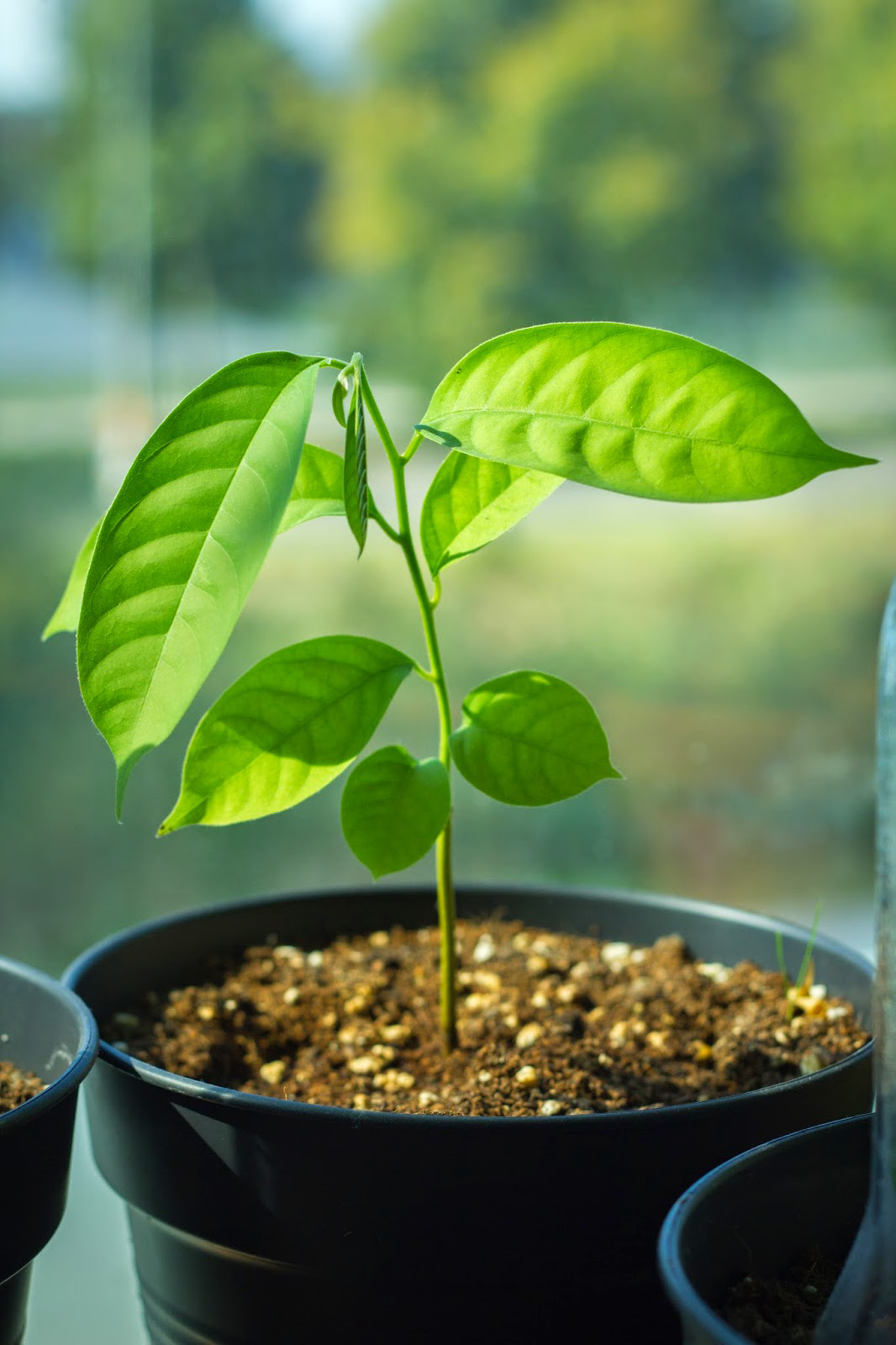 Wild-Sugar-apple-plant