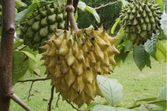 Wild-Sugar-apple