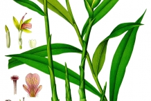 Plant-illustration-of-Wild-turmeric