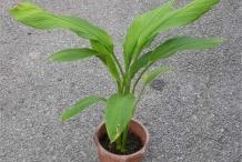 Plant-of-Wild-turmeric
