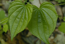Closer-view-of-leaves-of-Wild-Yam