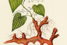 Plant-Illustration-of-Wild-Yam