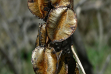 Dried-fruit-of-Wild-Yam