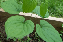 Wild-Yam-Plant