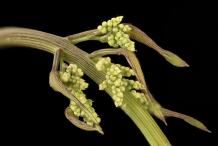 Wild-Yam-inflorescences-in-bud