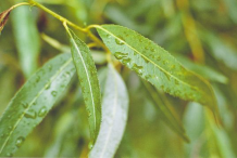 Leaves-of-Willow-Plant