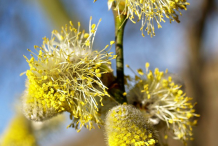 Male-Flower-of-willow-plant