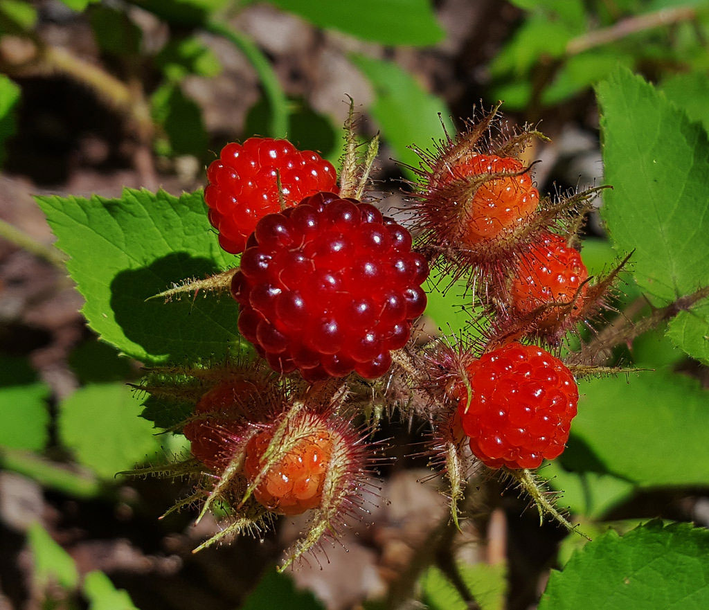 Closer-view-of-Wineberry-fruit