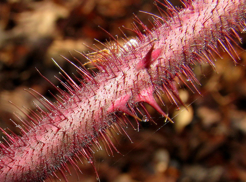 Closer-view-of-stem-of-Wineberry