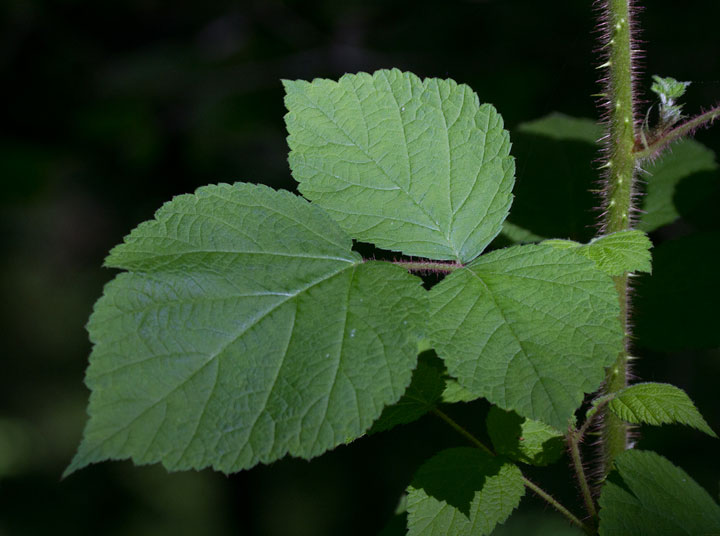 Leaves-of-Wineberry
