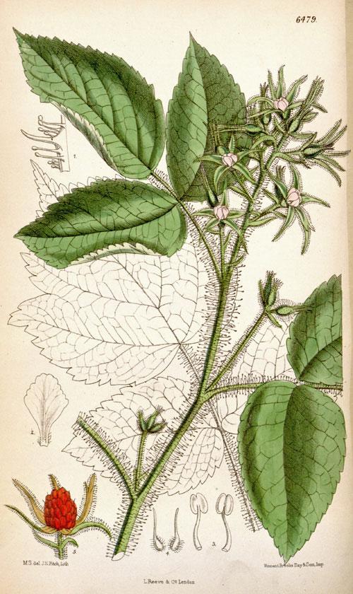 Plant-Illustration-of-Wineberry