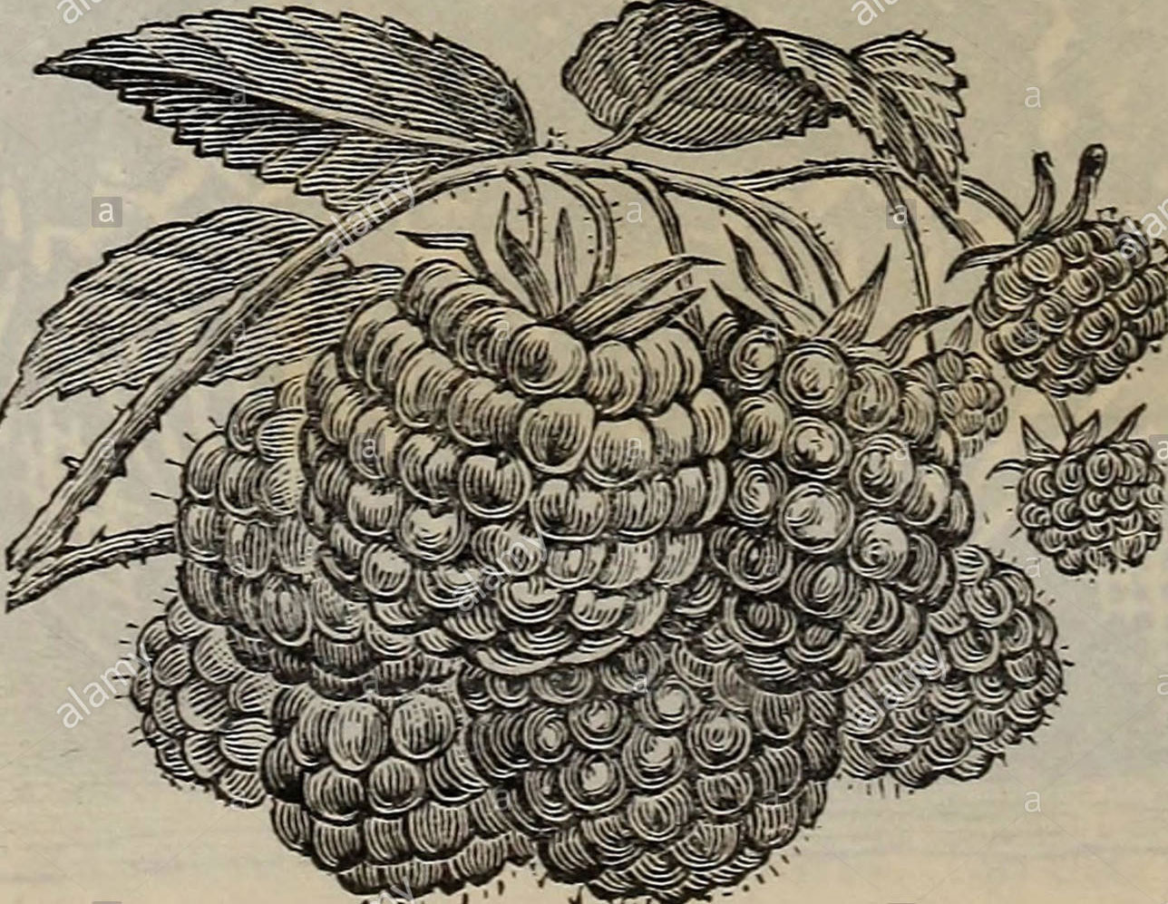 Sketch-of-Wineberry