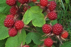 Fruits-of-Wineberry