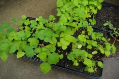 Small-Wineberry-Plant