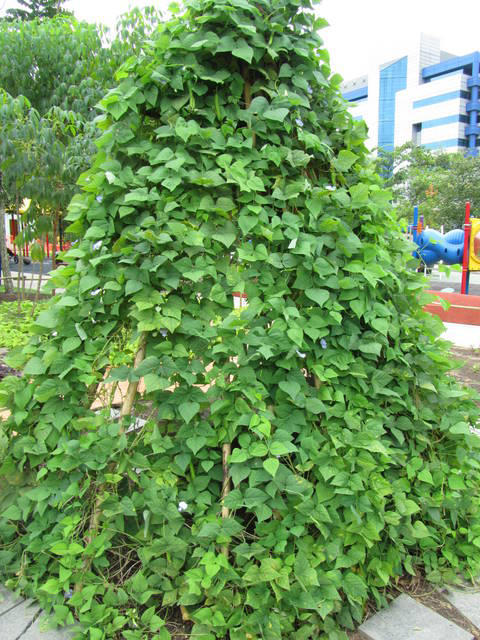 Vine-of-Winged-bean