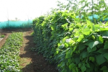 Farm-of-Winged-bean