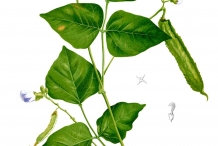 Illustration-of-Winged-bean