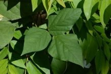 Leaves-of-Winged-bean