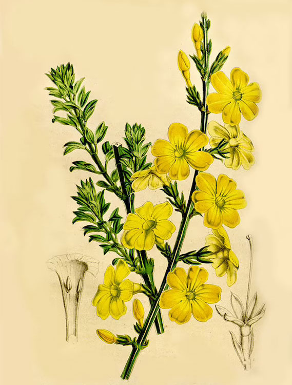 Plant-illustration-of-Winter-Jasmine