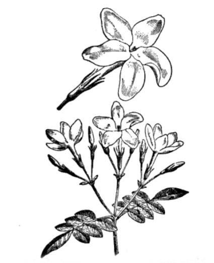 Sketch-of-Winter-Jasmine