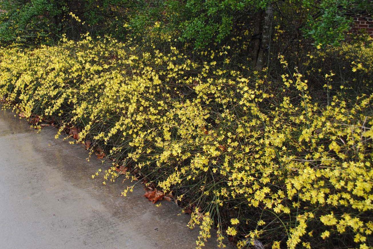Winter-Jasmine-plant