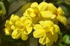 Flowers-of-Winter-Jasmine