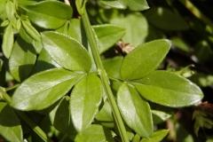 Leaves-of-Winter-Jasmine