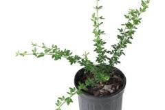 Winter-Jasmine-grown-on-the-pot