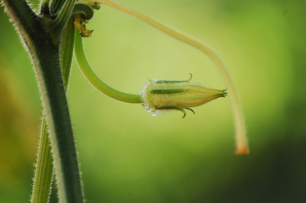 Flower-bud-of-Winter-melon