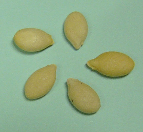 Seeds-of-Winter-melon