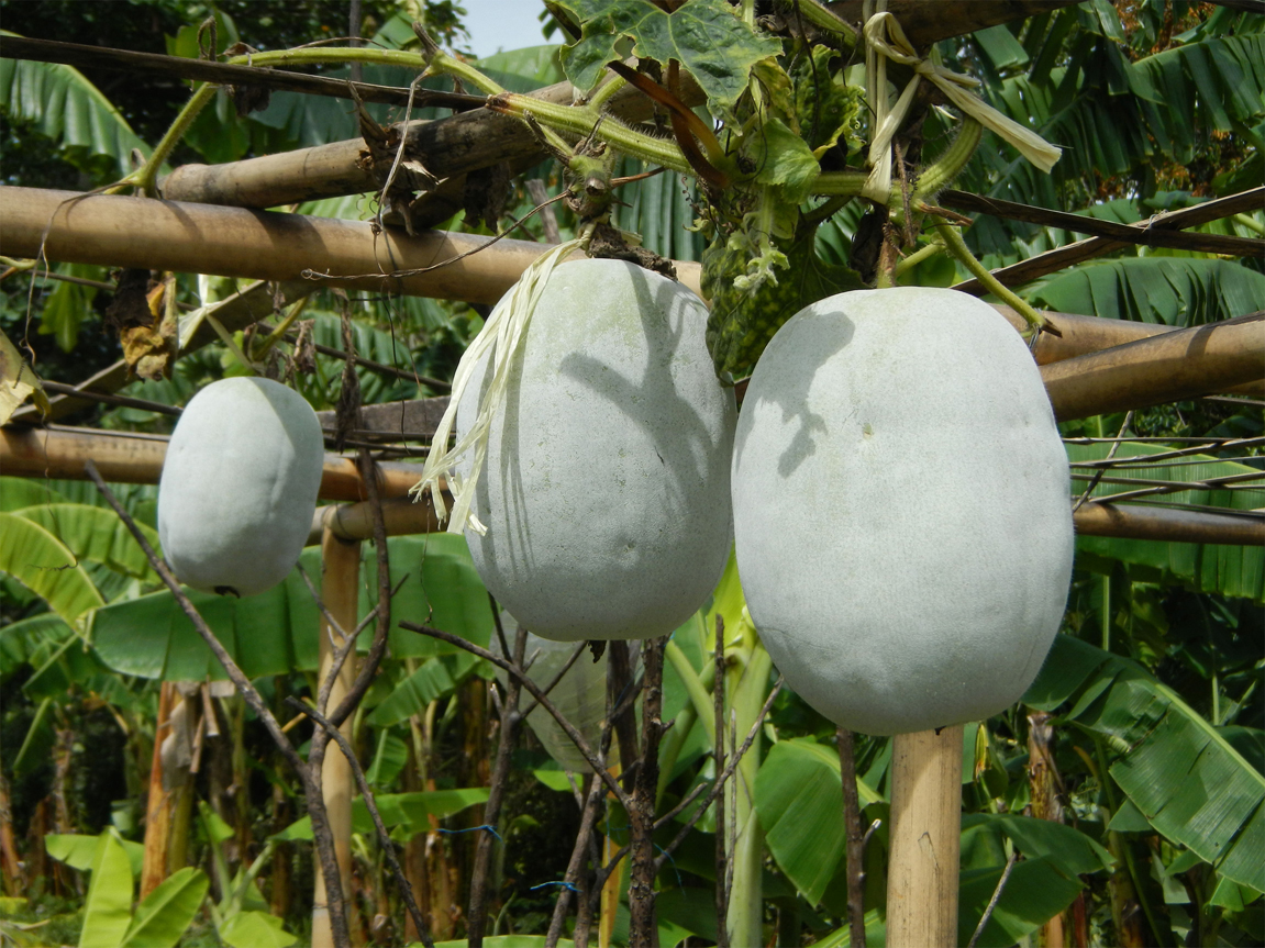 Winter-melon-fruit