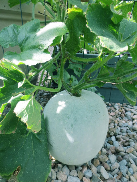 Winter-melon-plant