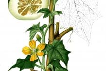 Illustration-of-Winter-melon