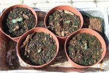 Seedlings-of-Winter-melon