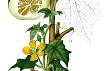 Illustration-of-Winter-melon