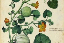 Plant-illustration-of-Winter-squash