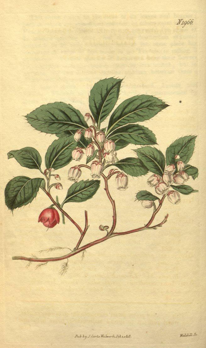 Wintergreen-plant-illustration