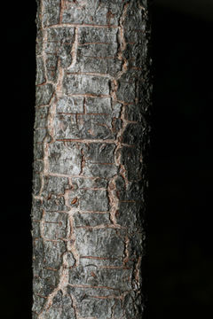 Bark-of-Witch-Hazel-plant