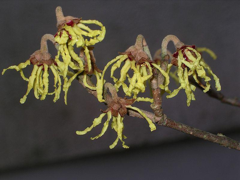 Flower-of-Witch-Hazel-plant
