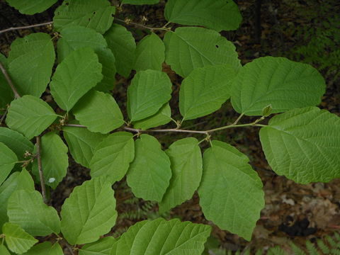 Leaves-of-Witch-Hazel