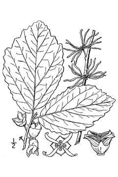 Sketch-of-Witch-Hazel-plant