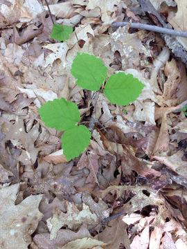 Small-Witch-Hazel-plant
