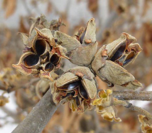Witch-Hazel-Seeds