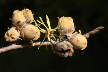 Witch-Hazel-Fruit