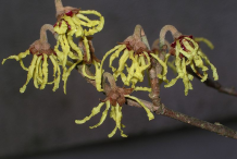 Flower-of-Witch-Hazel-plant