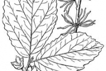 Sketch-of-Witch-Hazel-plant