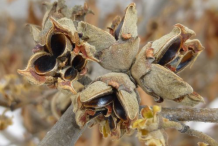 Witch-Hazel-Seeds
